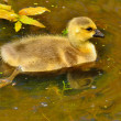 CanadGoose Gosling — Stock Photo #25041409