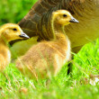 Foto Stock: CanadGoose Goslings