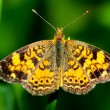 Great Spangled Fritillary Butterfly — Stock Photo #25539509