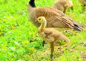 Canada Goose Gosling — Stock Photo