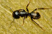 Carpenter Ant — Stock Photo