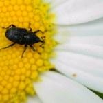 Weevil — Stock Photo