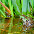 Stock Photo: Bullfrog