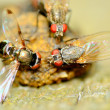 Flies On A Dung Ball — Stock Photo