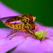 Hoverflies — Stock Photo