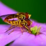 Hoverflies — Stock Photo
