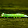 Stock Photo: Saddled Prominent Caterpillar