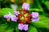 Selfheal Flower — Stock Photo