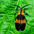Stockfoto: Net-winged Beetle