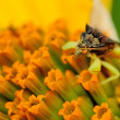 Stock Photo: Ambush Bug