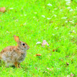 Cottontail Rabbit — Stock Photo #30007767