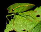 Stink Bug — Foto de Stock