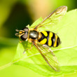 Hover-fly — Stock Photo