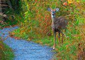 Whitetail Deer Spike Buck — Stock Photo