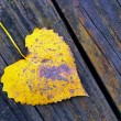 Cottonwood Leaf — Stock Photo
