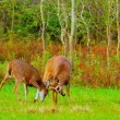 Whitetail Deer Bucks Rut — Stock Photo