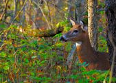 Whitetail Deer Doe — Stock Photo