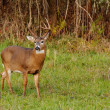 Whitetail Deer Buck — Stock Photo #34696927