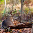 Whitetail Deer Buck — Stock Photo #35021971