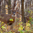 Stock fotografie: Whitetail Deer Buck