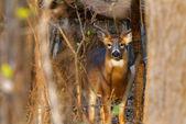 Whitetail Deer Buck — Stock Photo