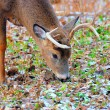 Whitetail Deer Buck — Stock Photo #36329273
