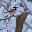 Black-capped Chickadee — Stock Photo #36329423