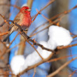 Stock Photo: Red Finch