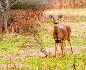 Doe cervo whitetail — Foto Stock
