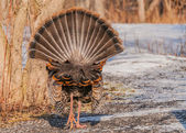 Wild Turkey (Meleagris gallopavo) — Photo