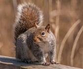 Grijze eekhoornwinter grijze eekhoorn — Stockfoto
