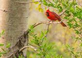 Male Cardinal  — Stock Photo