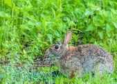 Cottontail Rabbit — Fotografia Stock