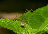 Harvestmen Spider — Stock Photo