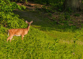 Biche de cerf de Virginie — Photo