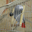 Gray parrot in cage — Stock Photo