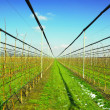 Apple trees with irrigation system - Stock Photo