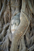 Buddha's head plunged into the roots of the tree. Ayutthaya — Stock Photo