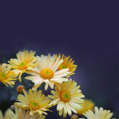 Chamomile glowers on blue — Stock Photo