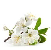 Gałązka wiśni w rozkwicie na białym tle — Zdjęcie stockowe