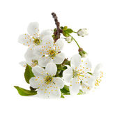 Cherry twig in bloom isolated — Stock Photo
