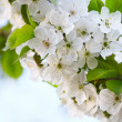 Cherry twig in bloom — Stock Photo #19568589