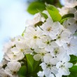 Cherry twig in bloom — Stock Photo #19568595