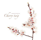 Branch of cherry in bloom — Stock Photo