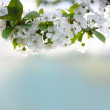 Cherry twig in bloom — Stock Photo