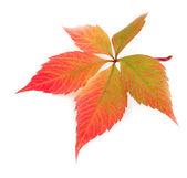 Autumn leaf on white background — Stock Photo