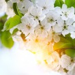 Stock Photo: Cherry twig in bloom