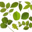 Set of isolated green leaf — Stock Photo