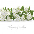 Cherry twig in bloom isolated — Stock Photo #47266725