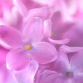 Soft focus lilac flower background. Made with lens-baby and macr — Stock Photo